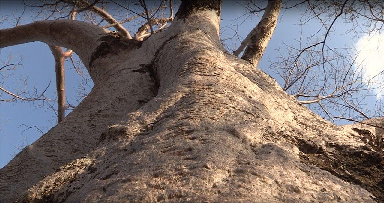 Bark, Fibre and Bee Hives. More Wacky Uses of the Baobab Tree.