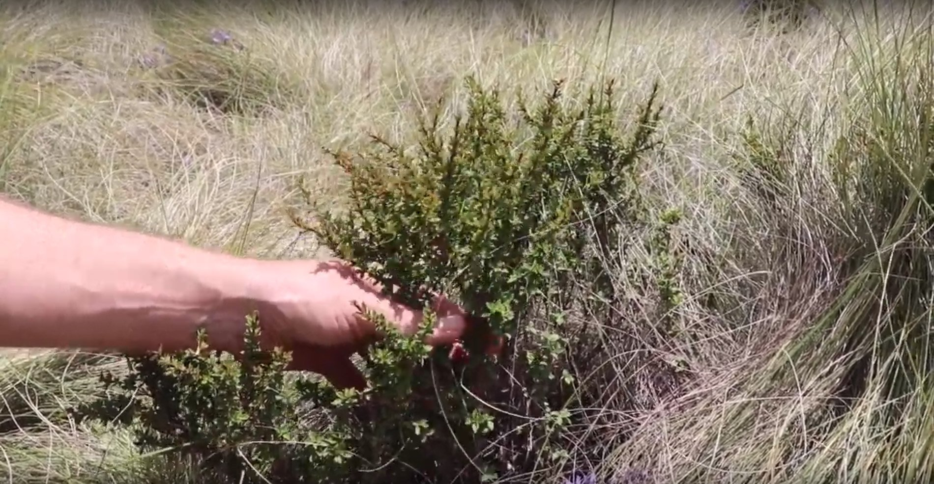The Remarkable Compounds in the Resurrection Plant (Myrothamnus flabellifolia)