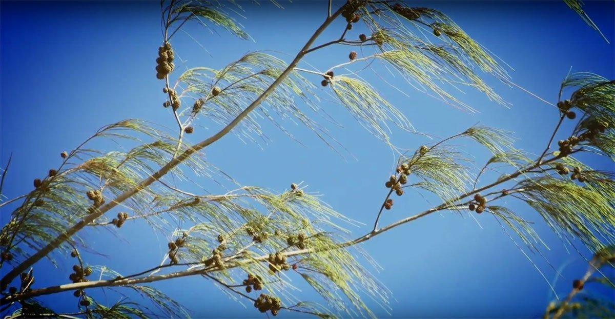 The Cheeky Casuarina – Tropical Imposter Tree that Mimics a Conifer