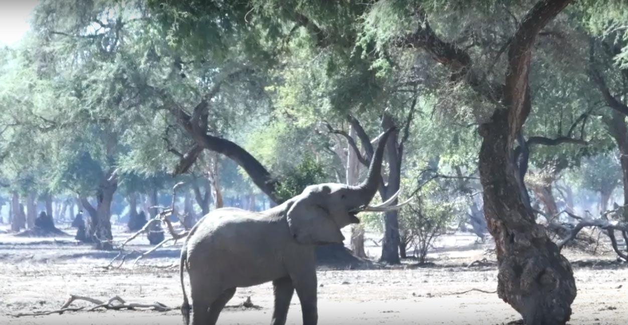Faidherbia albida – the Apple Ring Tree of the Zambezi Valley