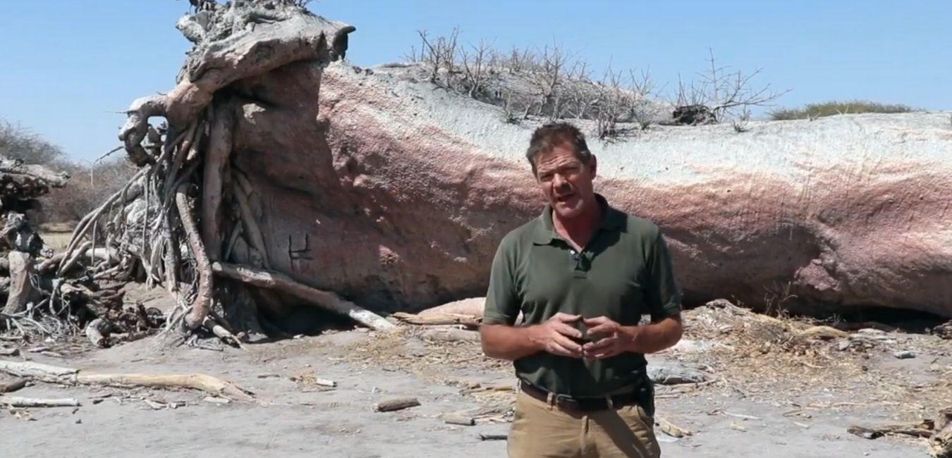 Is Chapman's Baobab Still Alive? Update from Botswana